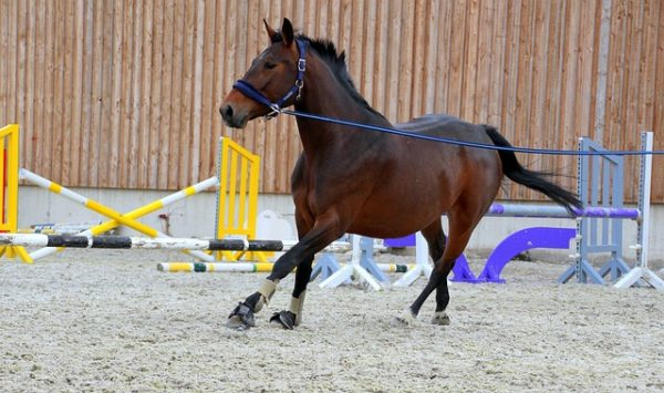horse lungeing